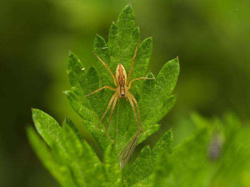 一番よく見るキシダグモ科の蜘蛛: 茨城の自然 蜘蛛・クモ探検隊2